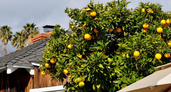 meyer-lemon-tree